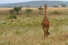 Giraffe Facing Away Into The G...