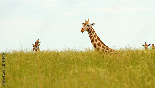 Keuken foto achterwand Giraffe Giraffe Heads Poking up out of Savannah Grass
