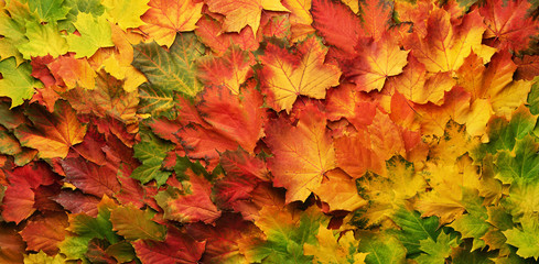 Naklejka na ściany i meble Red, orange, yellow and green maple leaves background. Golden autumn concept. Sunny day, warm weather. Top view. Banner