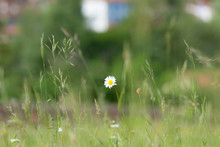 Isolated Daisy (Asteraceae) With Green Blurred Background In Wild Meadow