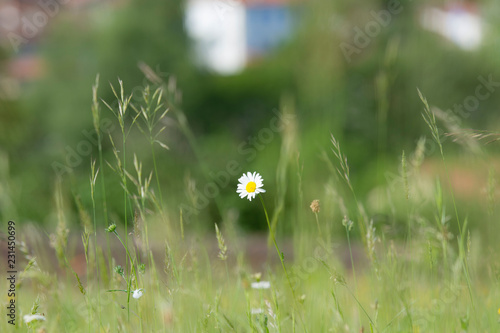 Isolated daisy (Asteraceae) with green blurred background in wild meadow Wallpaper Mural
