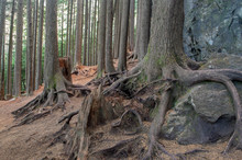 Trees With Roots Growing Over Rocks