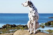 Dog Climbed On The Rocks Of The Beach