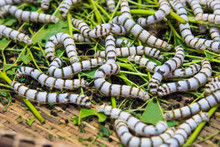 Close Up Silkworms Eating Mulberry Green Leaf