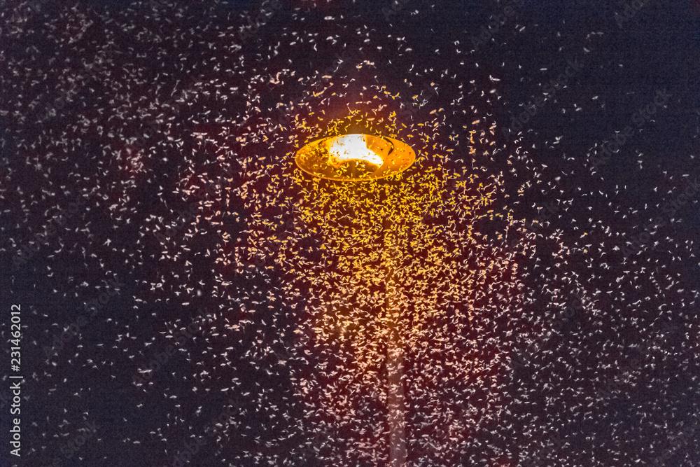 Fototapeta Nuée d'éphémères attirés par la lumière d'un lampadaire