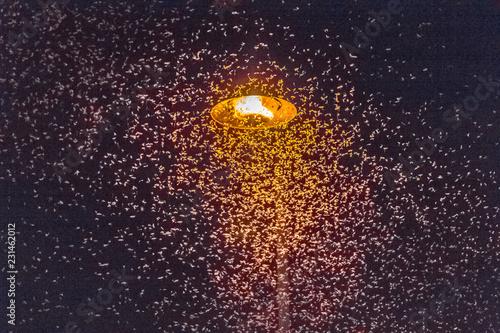 Nuée d'éphémères attirés par la lumière d'un lampadaire