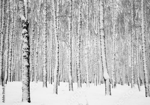 Winter snowy birch forest