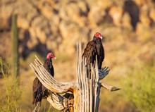 A Pair Of Turkey Vultures Perc...