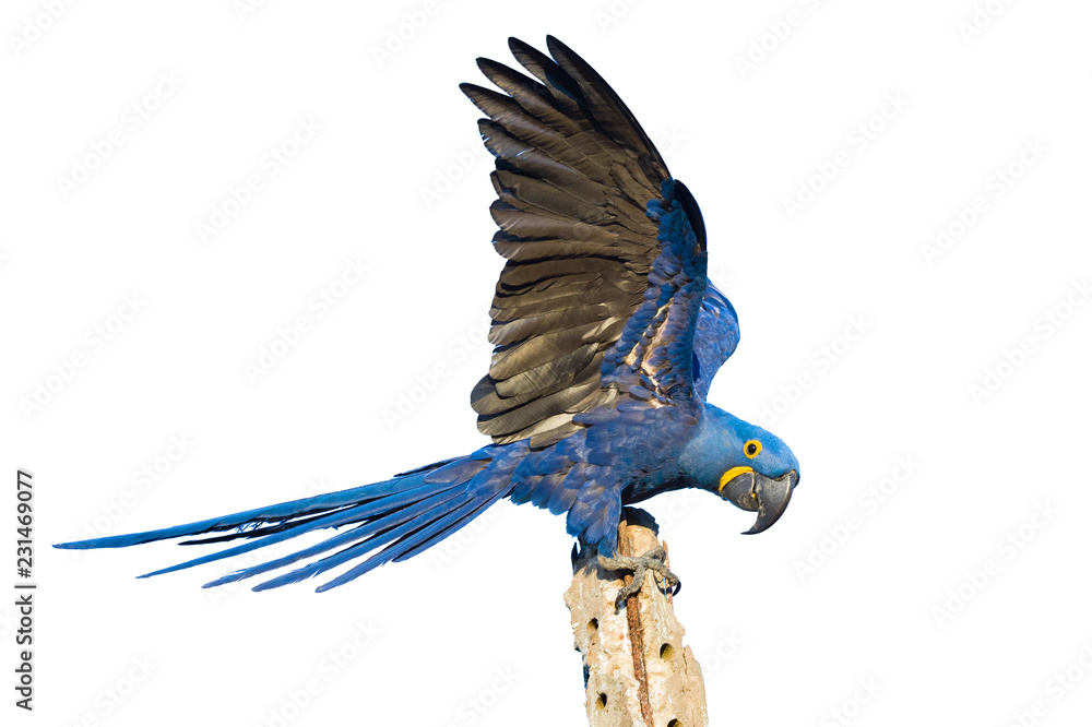 Hyacinth macaw isolated on white