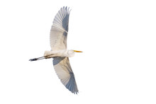Flying Great Egret Isolated On...