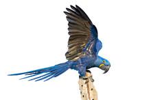 Hyacinth Macaw Isolated On White