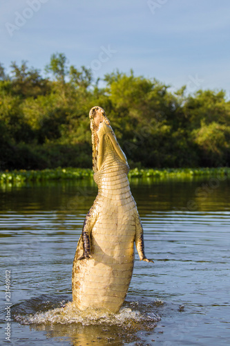 Yacare caiman leaping out of water
