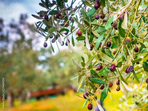 Foto op Aluminium Olijfboom olive field the open countryside in rural area