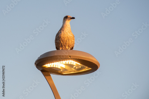 Seagull perching on Light in evening