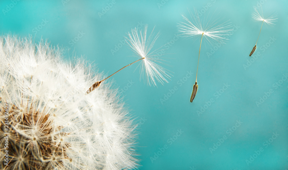 Fototapety, obrazy: Dandelion with seeds close up on a background of the sky
