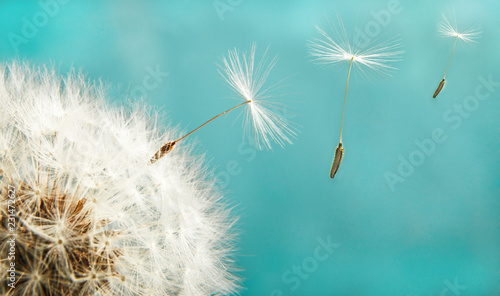 Dandelion with seeds close up on a background of the sky