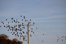 Flock Of Common Starlings, Lat...