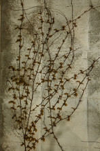 Background Of The Natural Branches Of Climbing Plants With Leaves On A White Wall. Autumn Decor, Close Up, Copy Space. Wild Grapes On Wall. Natural Background With Vine. Twigs Of Ivy On Wall Of House