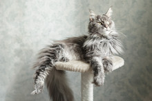 Beautiful Gray Maine Coon Cat ...
