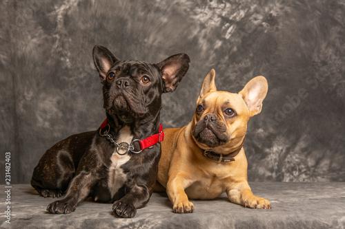 Tuinposter Franse bulldog Hund106