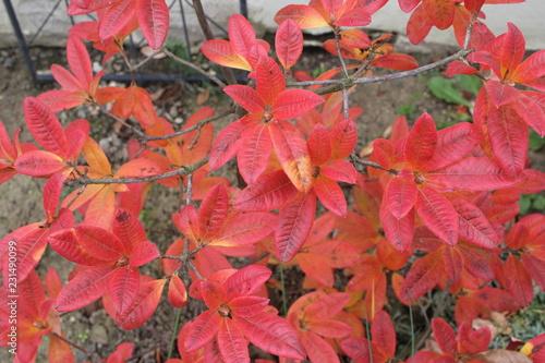 Foto op Canvas Azalea red autumn leaves