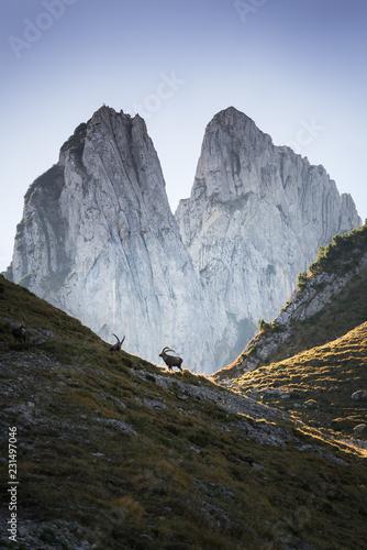 Steinböcke im Alpstein I