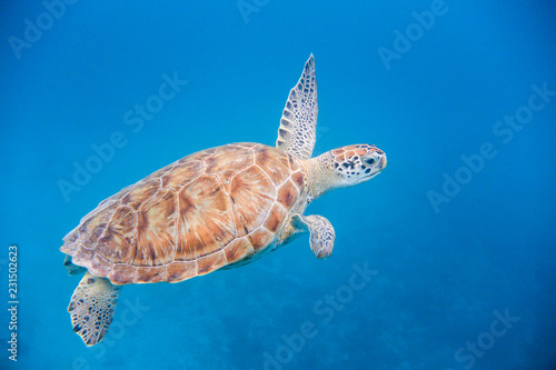 Underwater view of Green Sea Turtle (Chelonia mydas) swimming in blue sea in Barbados