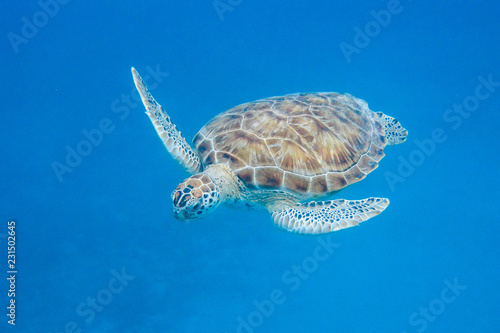 Poster Schildpad Underwater view of Green Sea Turtle (Chelonia mydas) swimming in blue sea in Barbados