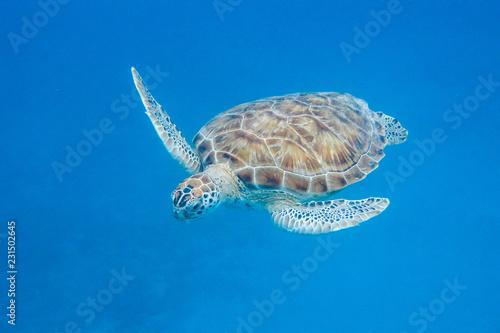 Staande foto Schildpad Underwater view of Green Sea Turtle (Chelonia mydas) swimming in blue sea in Barbados