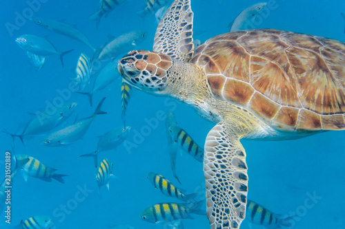 Spoed Foto op Canvas Schildpad Underwater view of Green Sea Turtle (Chelonia mydas) swimming in blue sea in Barbados