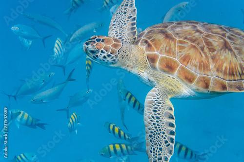 Keuken foto achterwand Schildpad Underwater view of Green Sea Turtle (Chelonia mydas) swimming in blue sea in Barbados