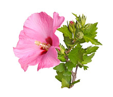 Flower, Buds And Stem Of A Rose Of Sharon On White