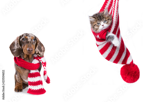 New Year's puppy, Christmas dog dachshund