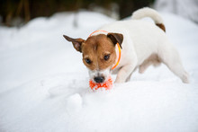 Dog Wearing Orange Collar With...