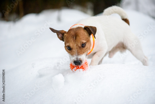 Fotografia Dog wearing orange collar with LED lamps for safety at evening walk