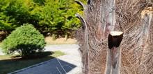 Palm Bark Texture. Fibrous Palm Tree Trunk Surface Closeup. Extraordinary Natural Background. Palm Tree Bark