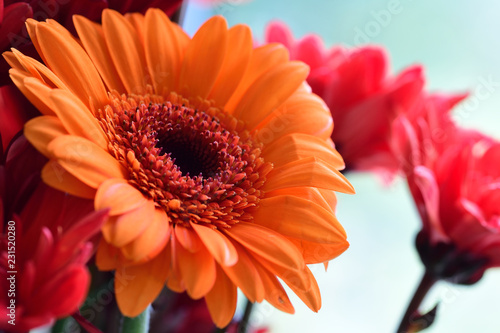 Staande foto Gerbera Close up of an orange gerbera flower