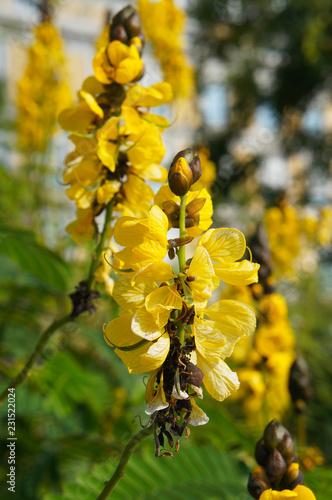 Fotografia  Senna didymobotrya or candelabra tree yellow plant