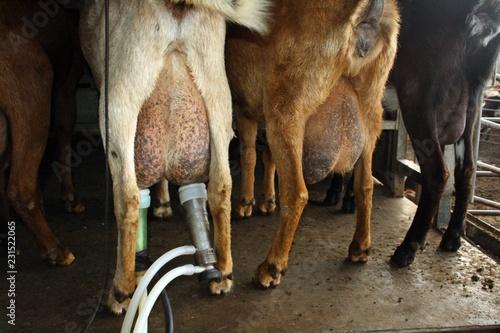 Fotografie, Obraz  Ordeño a automático de ubres de cabra.