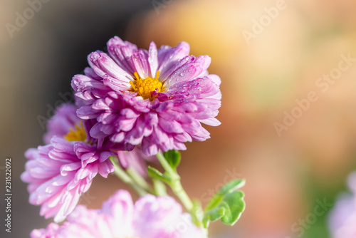 Foto auf Leinwand Blumenhändler Pink Chrysant
