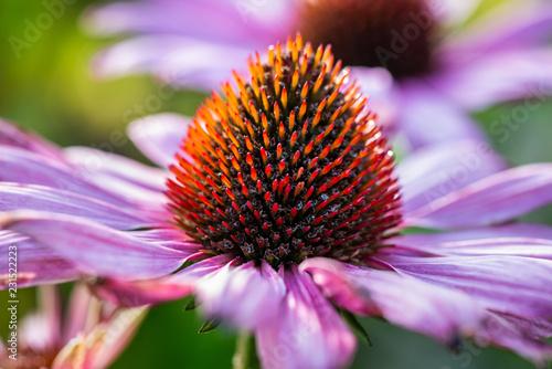 Foto auf Leinwand Blumenhändler purple coneflower