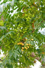 Melia Azedarach Or Chinaberry Tree Green Foliage