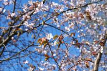 White Pink  Cherry Flower Blossom  Tree