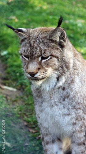 Spoed Foto op Canvas Lynx Wunderschöner Lux
