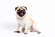 Cute Pet Dog Pug Breed Sitting And Smile With Happiness Feeling So Funny And Making Serious Face Isolated On White Background