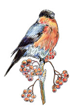 Lonely Isolated Bird Bullfinch With Black Head And Red-bellied Winter Sitting On A Branch With Berries Of Mountain Ash, Drawn With Colored Pencils