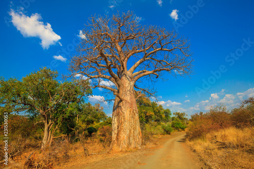 Fototapeta Landscape of Baobab tree in Musina Nature Reserve, one of the largest collections of baobabs in South Africa