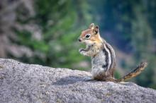 Standing Chipmunk On A Rock