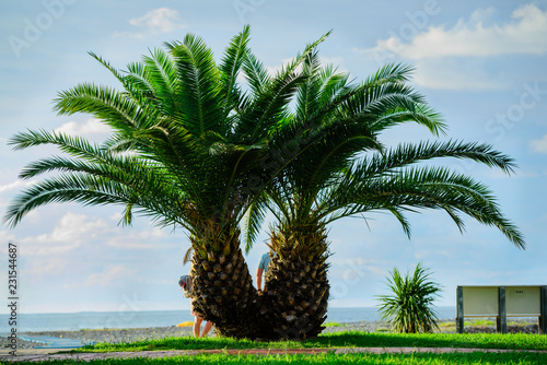 Phoenix roebelenii (Pygmy date palm) over the Black Sea background