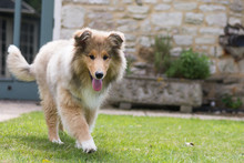 Happy Rough Collie Puppy Walking Towards Camera With Tongue Out